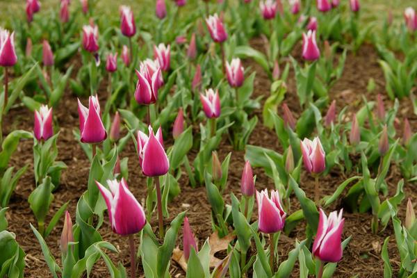 Сорт Ballade один из самых популярных среди лилиецветных тюльпанов