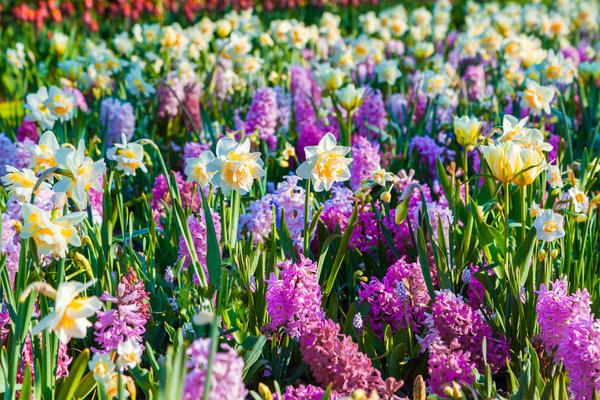 Цветение луковичных в саду - настоящий праздник весны