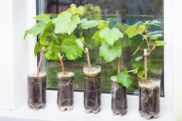 Лучше выбирать вегетирующие саженцы в прозрачных контейнерах, сквозь которые хорошо просматриваются живые и бодрые корешки