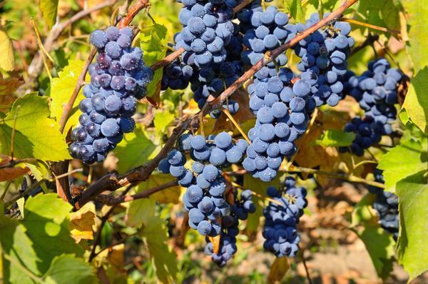 Как купить хорошие саженцы винограда?