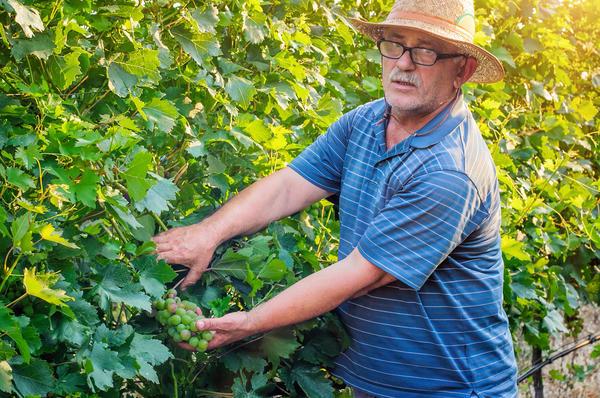 Надежный сорт можно купить только у виноградарей, которые занимаются разведением винограда долгие годы