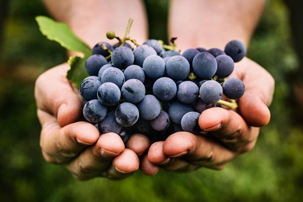 Как заложить умный виноградник?