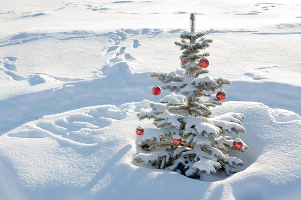Если вы планируете наряжать хвойное деревце в первый год после посадки, то выбирайте растение выше 1 м