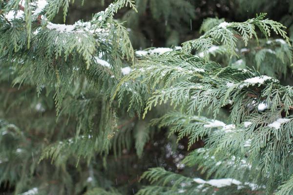 Кипарисовик Лавсона хорошо выносит полутень, однако это растение нельзя назвать самым зимостойким