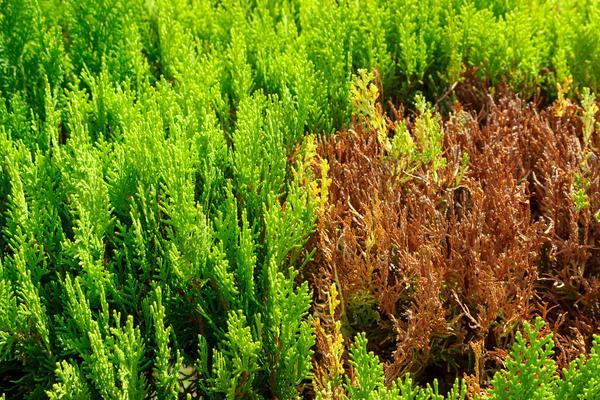 Помните, что молодая хвоя некоторых растений может пострадать от ожога ранней весной