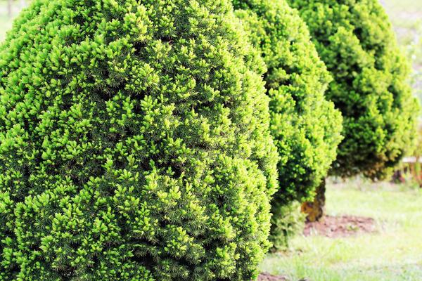 Ель канадская Conica - медленнорастущее растение