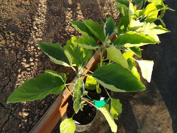 В средней полосе баклажаны лучше выращивать в открытом грунте