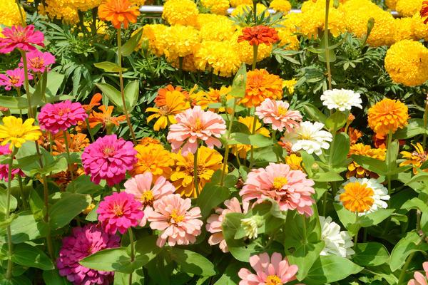 Однолетники расцвечивают сад самыми яркими красками