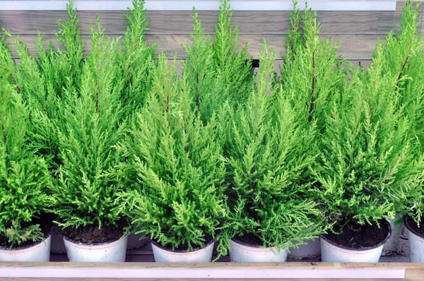 Если вы решите сохранить в квартире или высадить в сад свою елочку, сначала выясните, какой это вид и сорт, поймите, зимостойкое ли это растение