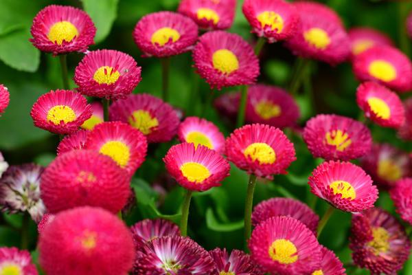 Двулетние цветы, как правило, зацветают на второй год после посева