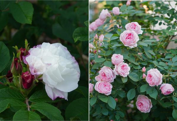 Розы Louise Bugnet (слева) и Prairie Joy (справа)