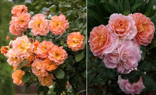 Розы Westerland (слева) и Concerto 94 (справа)
