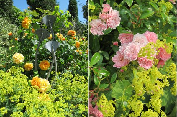 Роза и манжетка