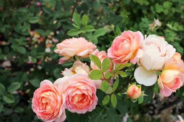 Розы прекрасны