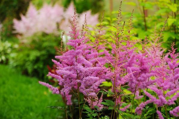 Цветник выполнен в розово-пурпурной гамме