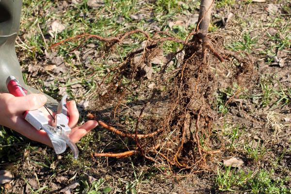 При необходимости проведите санитарную обрезку корневой системы и надземной части