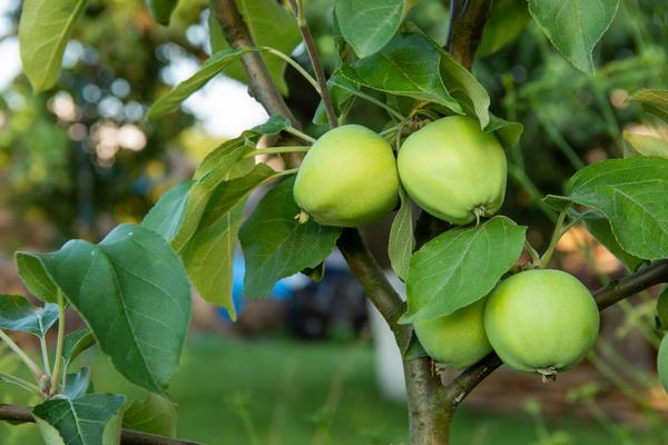 Первые, долгожданные яблочки. Чтобы такие плоды вас порадовали как можно скорее, важно правильно заложить свой сад