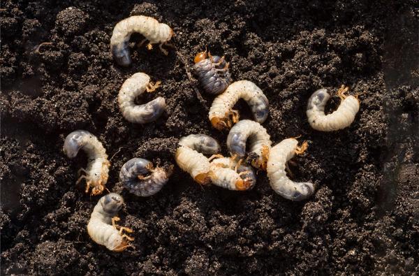 Личинки майского хруща очень прожорливы