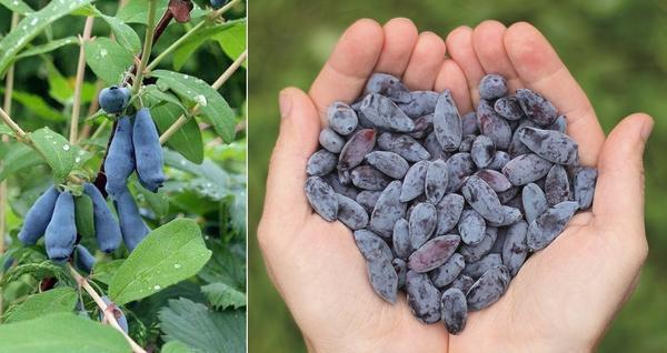 Соблюдайте сроки ожидания. Жимолость поспевает самой первой из ягод. Например, сорта Длинноплодная (слева) и Герда (справа) зреют уже в середине июня