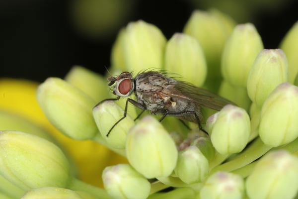 Капустная муха (фото предоставлено компанией Август)
