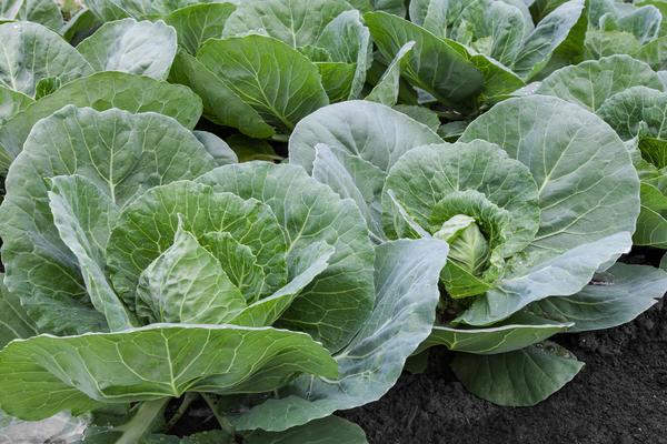 Азот поможет капусте нарастить мощную листовую розетку