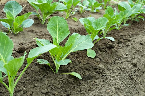 Чем подкармливать капусту, чтобы выросли тугие и вкусные кочаны