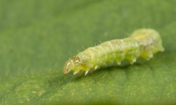 Гусеница листовертки. Фото предоставлено компанией Август