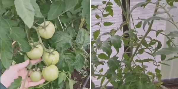В одной теплице ветви ломятся от плодов, во второй нет ни одной помидорки