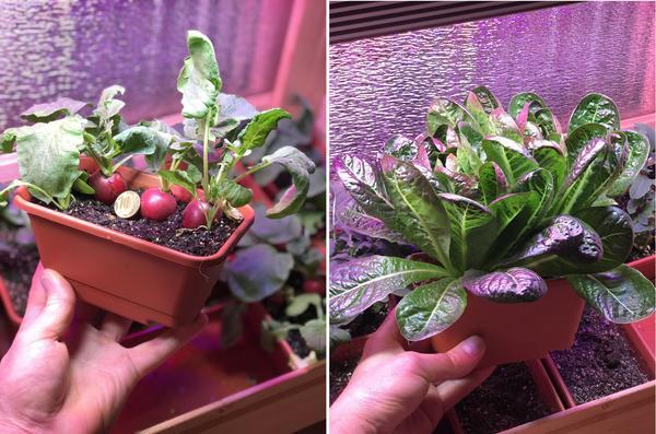 Для хорошего роста и созревания урожая растениям нужна подсветка, дающая им лучи синего и красного спектра
