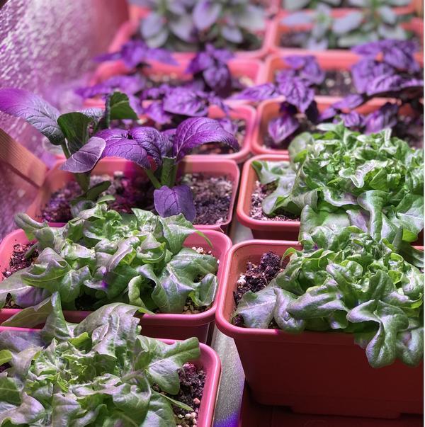 Растениям в домашнем огороде нужна правильная подсветка