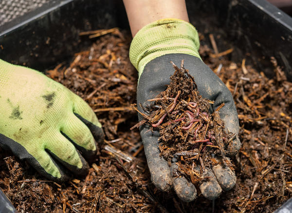 Как и для чего огородники разводят дождевых червей?