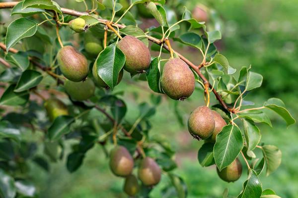 Ухоженное и здоровое дерево радует регулярными урожаями