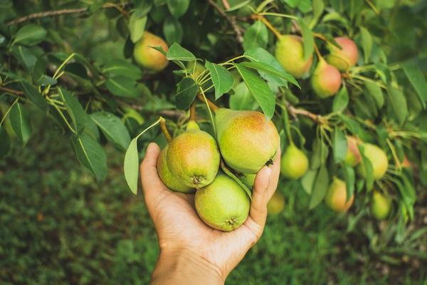 15 наболевших вопросов о груше. Как помочь плодовому дереву?