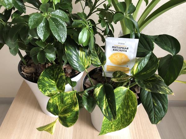 Как применять янтарную кислоту для подкормки растений?