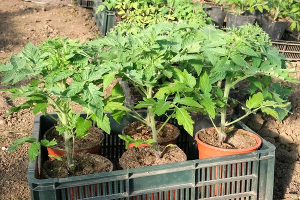 6 грубых ошибок при выращивании томатов. Как все исправить