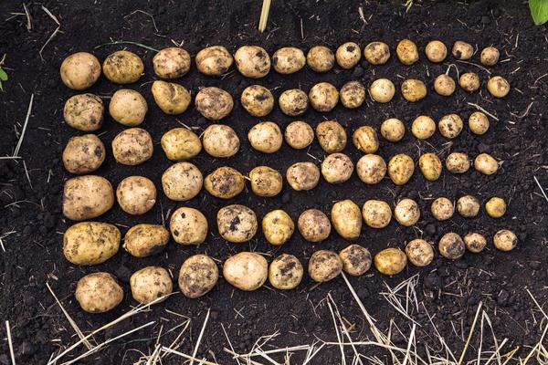 Как вырастить здоровый картофель: посадка и уход от а до я