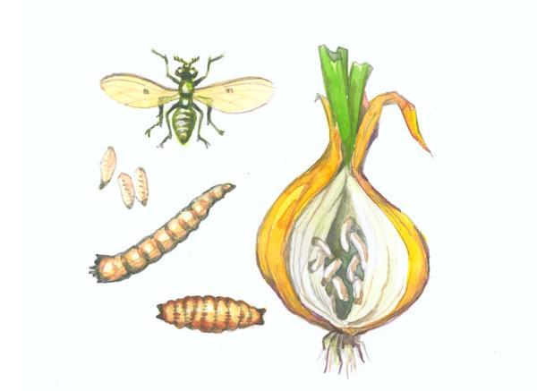 Луковая муха и ее личинки (рисунок предоставлен компанией Август)