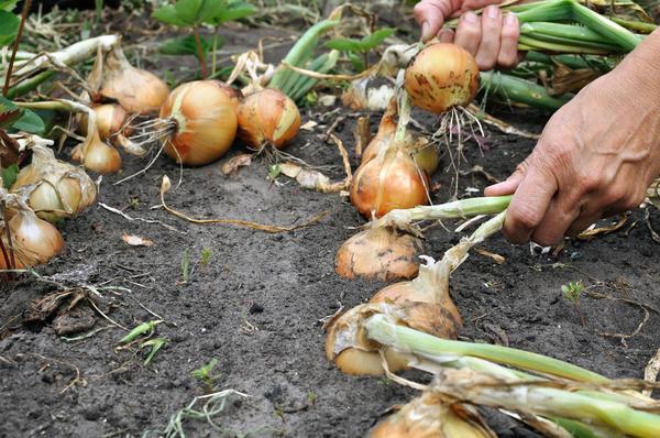 Пора собирать урожай