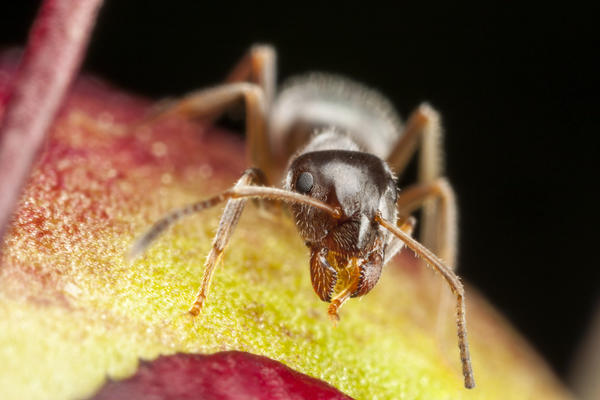 Муравей как муравей, но предпочитает жить в доме. В вашем доме