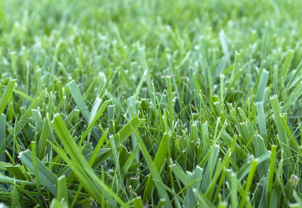 На мокрой траве не получаются ровные срезы, из-за этого ее кончики засыхают и желтеют