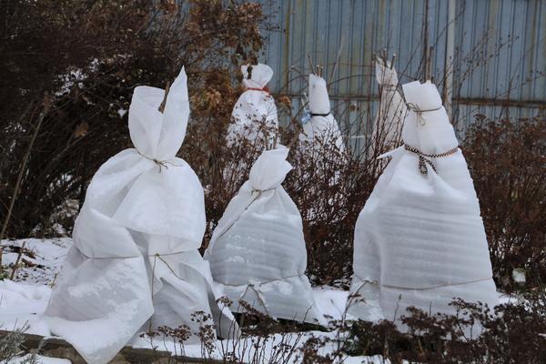 Неправильное укрытие растений на зиму. Как избежать ошибок?