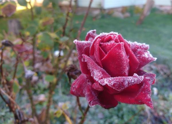 Неправильное укрытие роз: 6 губительных ошибок