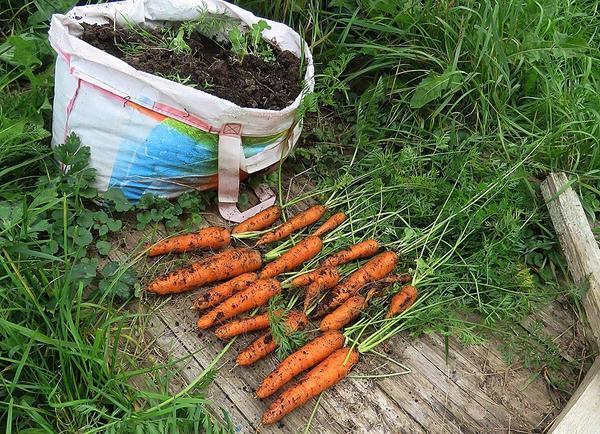 Морковь, выращенная в хозяйственной сумке для покупок