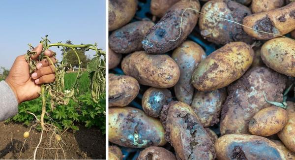 Как уберечь картофель от вредителей и болезней: 7 злейших врагов и средства защиты от них