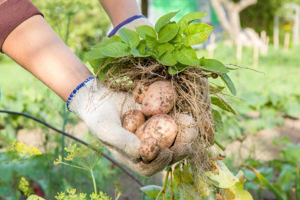 Как уберечь картофель от главных напастей и вырастить здоровый урожай?