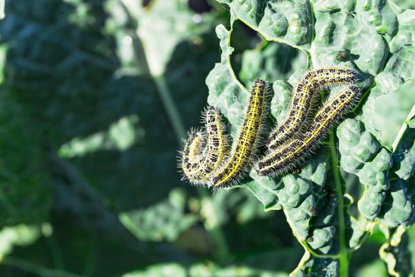 Гусеницы способны сильно повредить молодую капусту