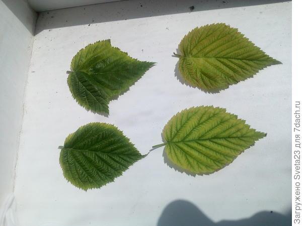 Листья малины с разных кустов.
