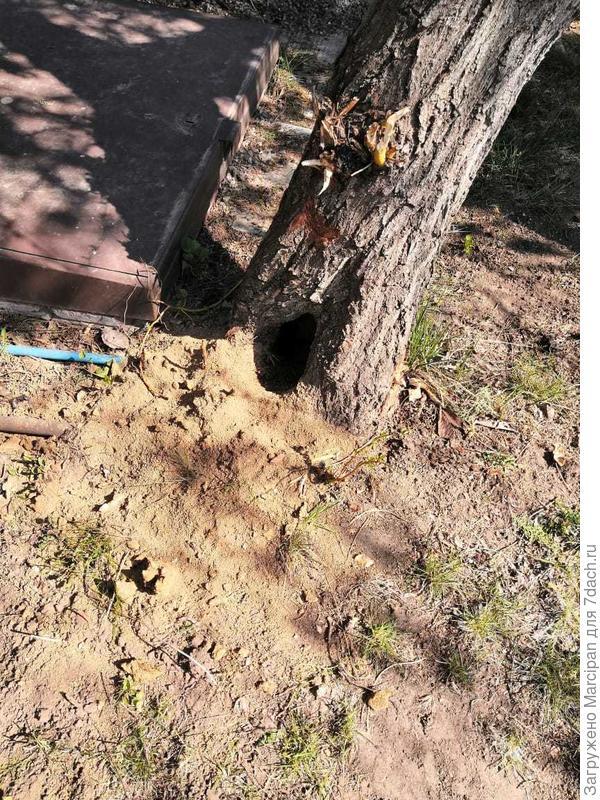Дороги любители дачи, помогите определить хозяина норы. Появилась она неожиданно под старой ивой, ход горы уложит в ствол дерева, животное его прогрызло внутри, кто это может быть?