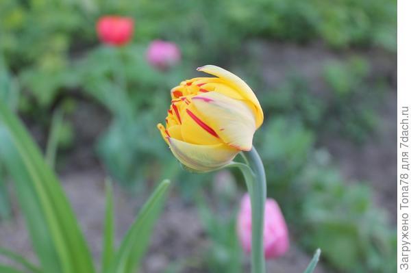 Расцветка отличается. Не думаю, что пересорт. Посмотрю следующей весной, может наберет сил и краски.