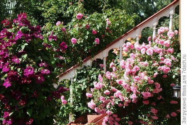 Лестница ,украшенная плетистой розой